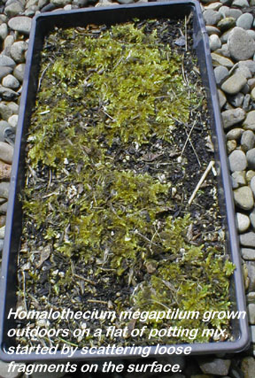 Establishing Mosses In Gardens